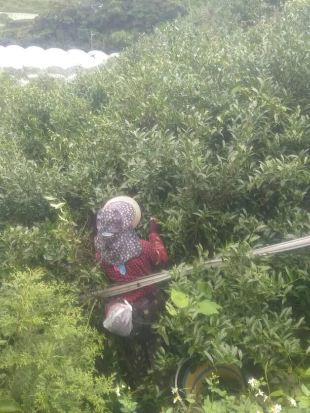 tea picker in taiwan